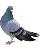 Palomas - Aves