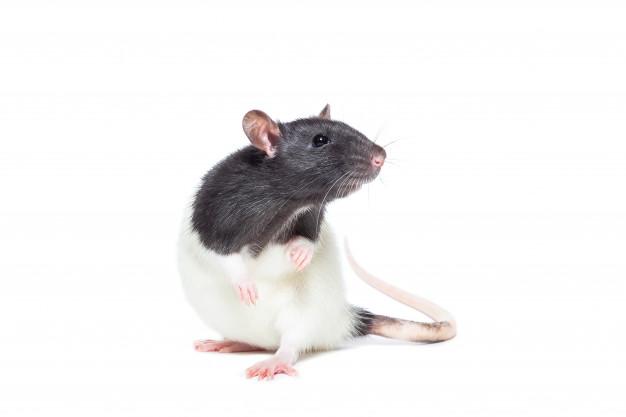 Empresa Eliminación de ratas en Sevilla