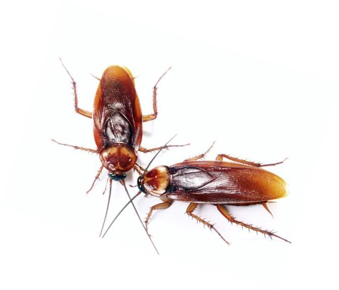 Plaga Cucarachas QKSur